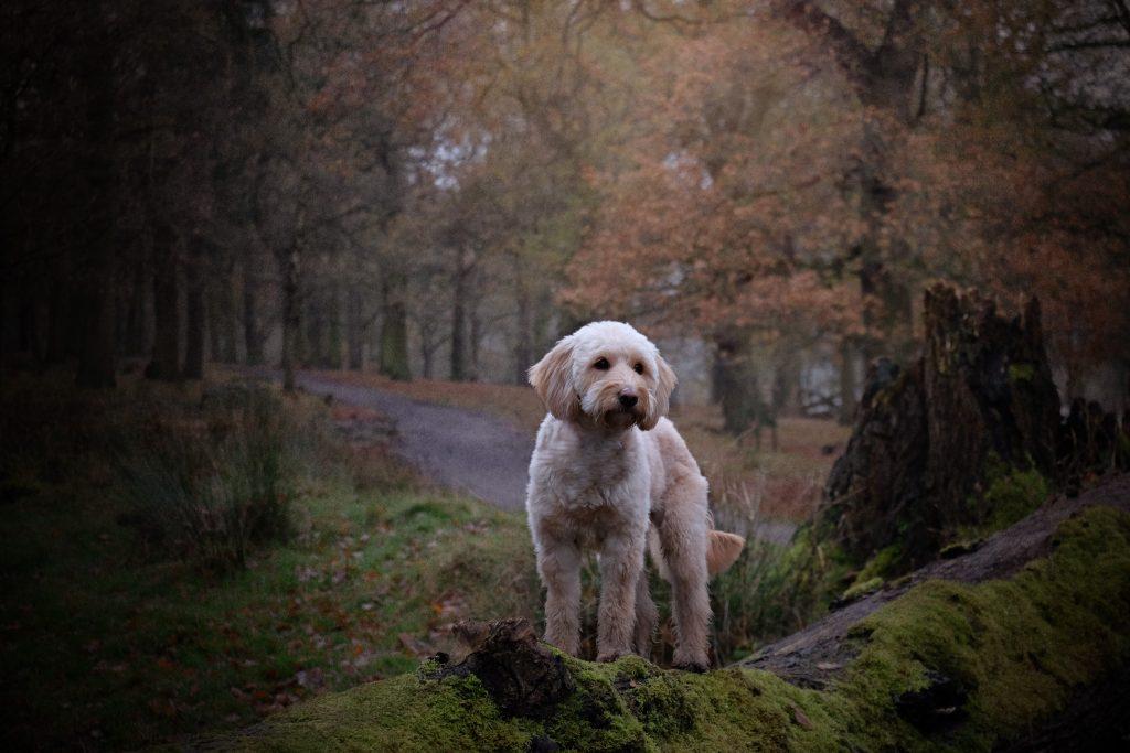 Dog Photography Cheshire